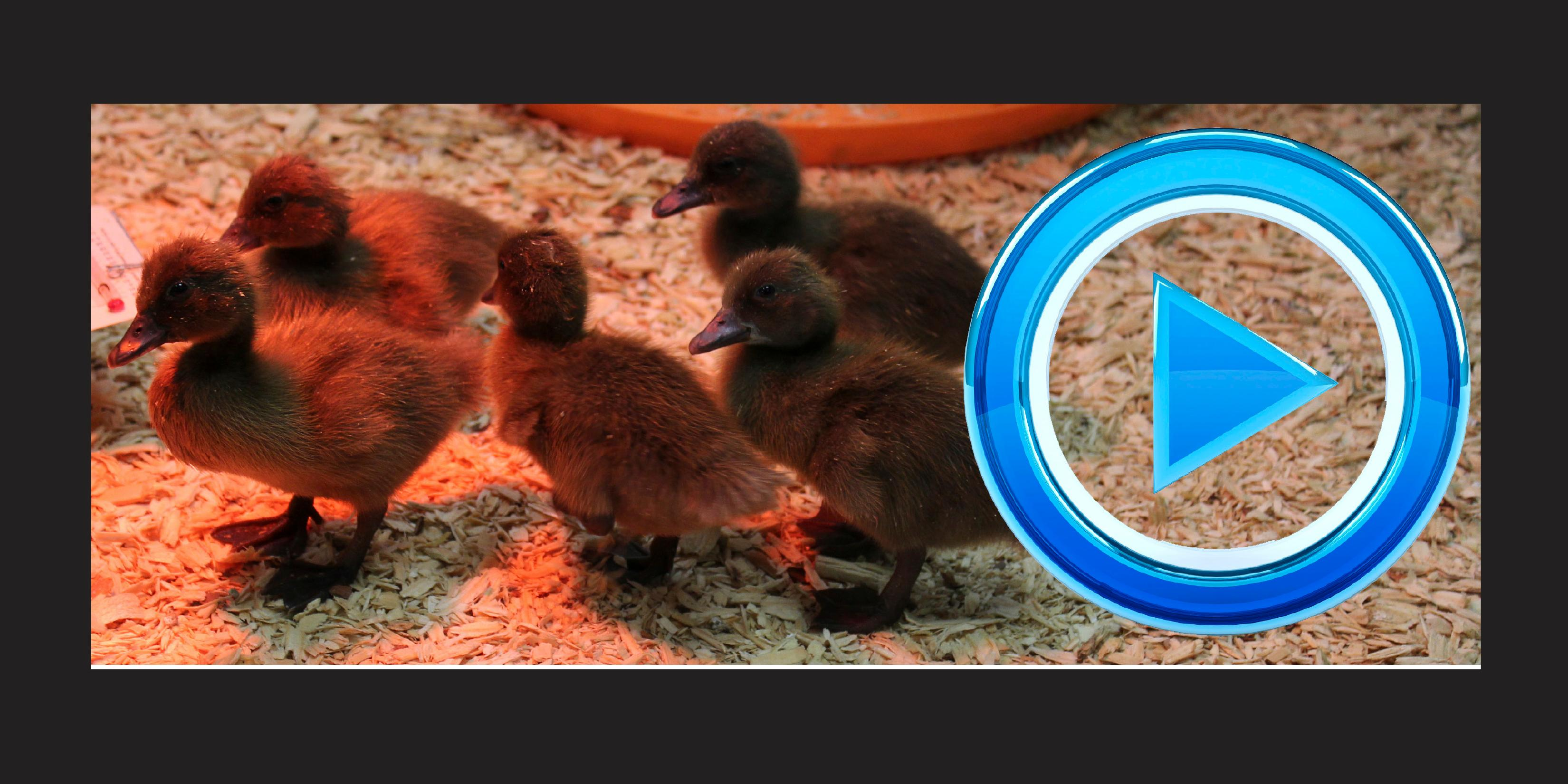Addison Trail students hatch, raise ducklings to learn about animal behavior and sustainability